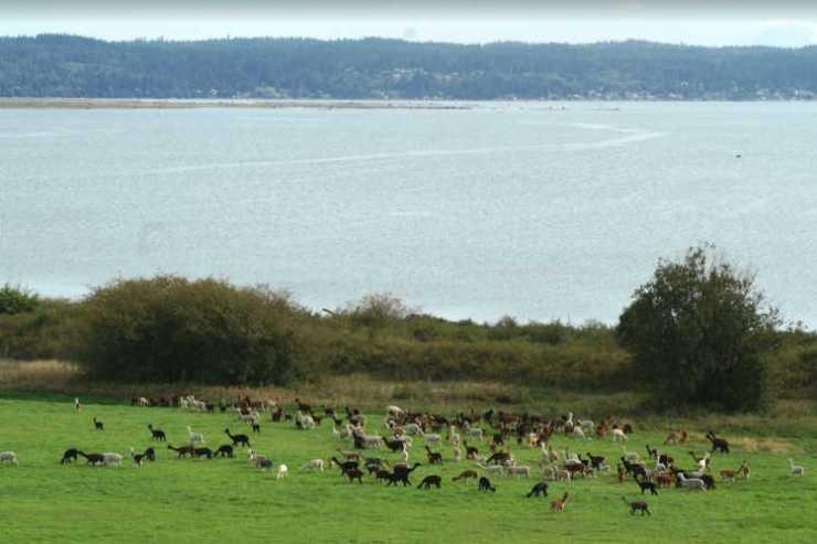 Alpaca farm overlooking water