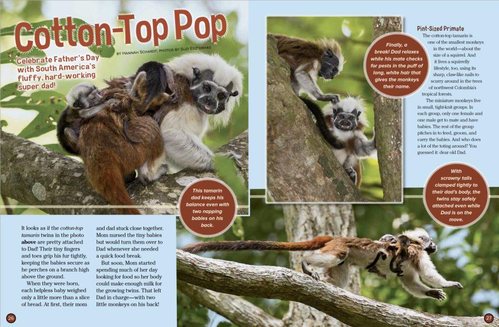 Cotton-Top Tamarins Ranger Rick June July 2017 1