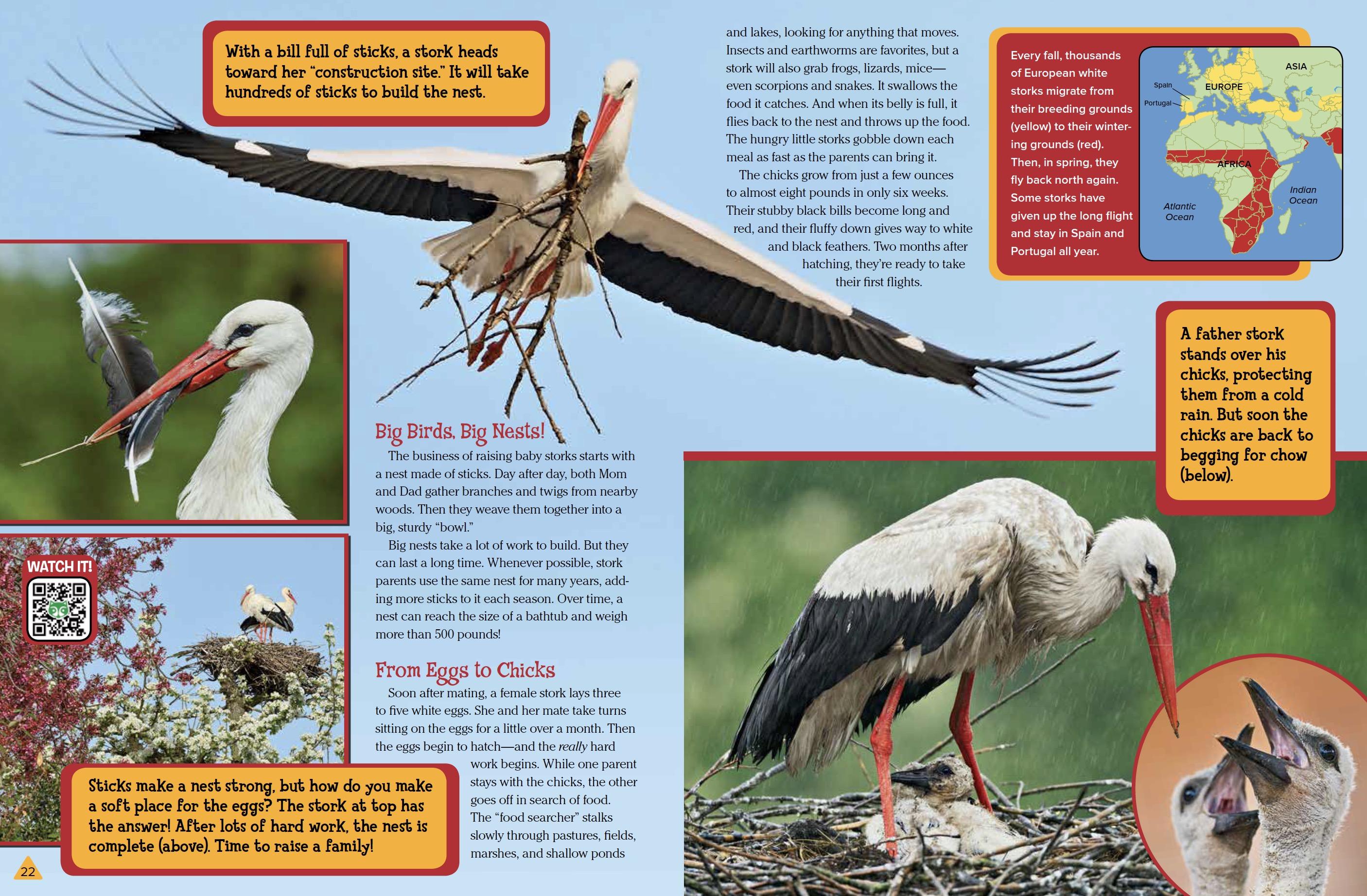 European White Storks - NWF | Ranger Rick