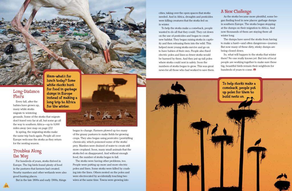White Storks Ranger Rick September 2017 3