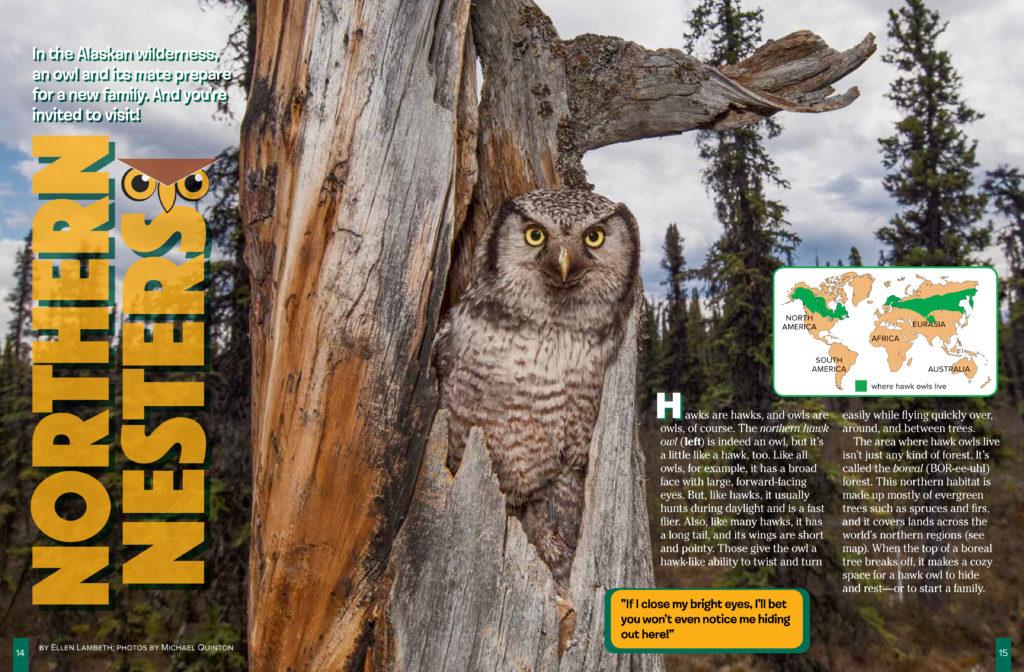 Hawk Owls May 2018 RR - 1