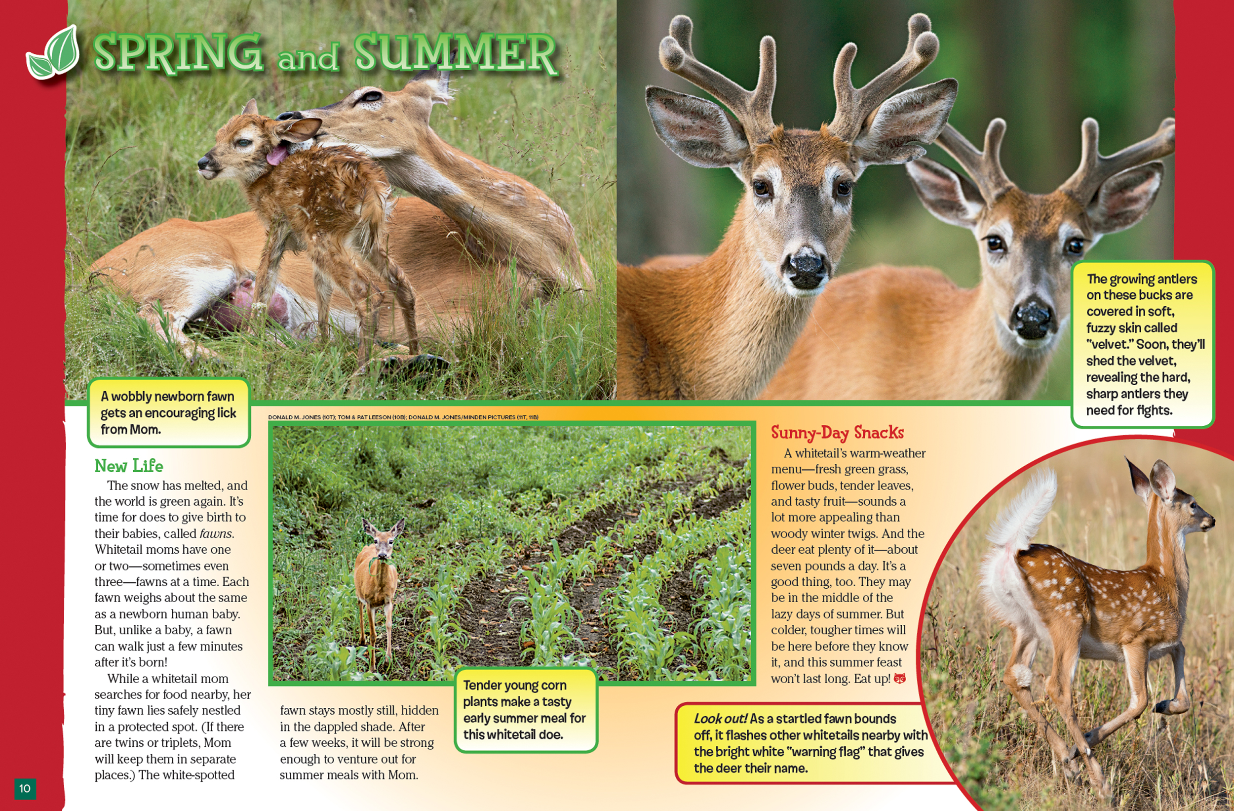 Deer Through the Year - NWF | Ranger Rick