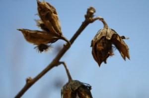 weedseedpod