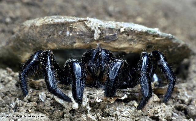 Here is a cool picture of a Trapdoor spider!
