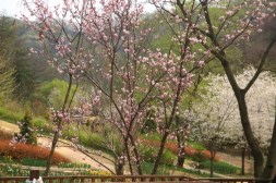 Prunus & Korean Cherry Jade Garden Korea