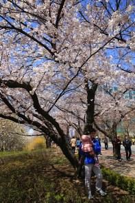 Yeouido Spring Flower Festival