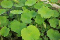 Lotus leaves Semiwon