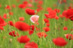 Red Poppy Semiwon
