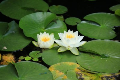 Lotus flowers in Semiwon (세미원) and Dumulmeori (두물머리) Gardens