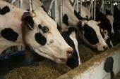 Cows barn, Jinju Farm, Korea
