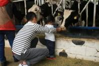 Feeding the cows, Jinju Farm, Korea