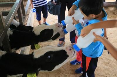 Calves milk feeding - Jinju Farm, Korea
