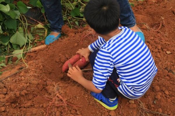 Sweet potatoes cropping - Jinju Farm, Korea