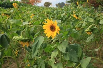 Sunflowers, Guri Citizen's Hangang River Park