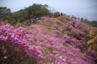 Goryeosan Azalae Festival
