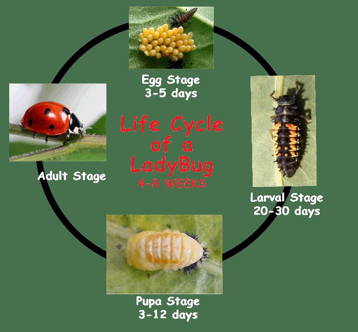 https://kidsgrowingstrong.org/ladybuglifecycle/