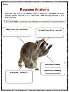 Raccoon Facts, Worksheets, Habitat & Information For Kids