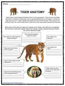 Tiger Facts, Worksheets, Diet, Habitat & Information For Kids