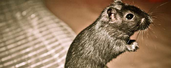 Rodent facts and information