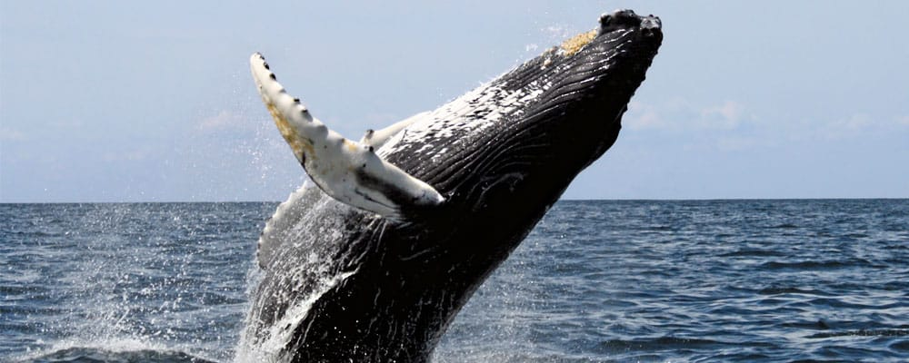 Whale Facts, Worksheets, Species, Diet & Information For Kids