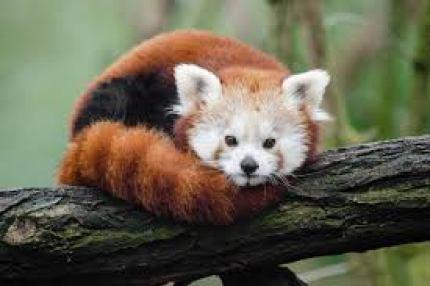 Red Panda Facts, Worksheets, Habitat, Anatomy and Life Cycle