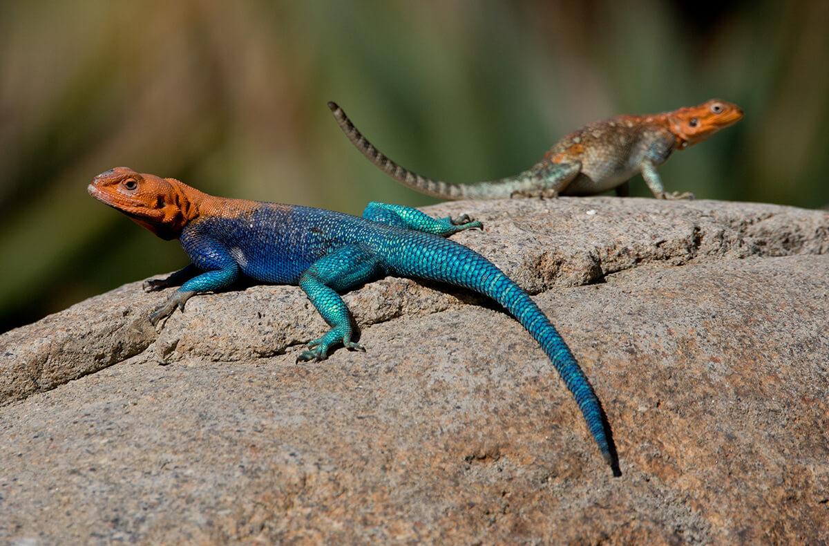 Lizard Facts Worksheets Habitat Species Amp Information