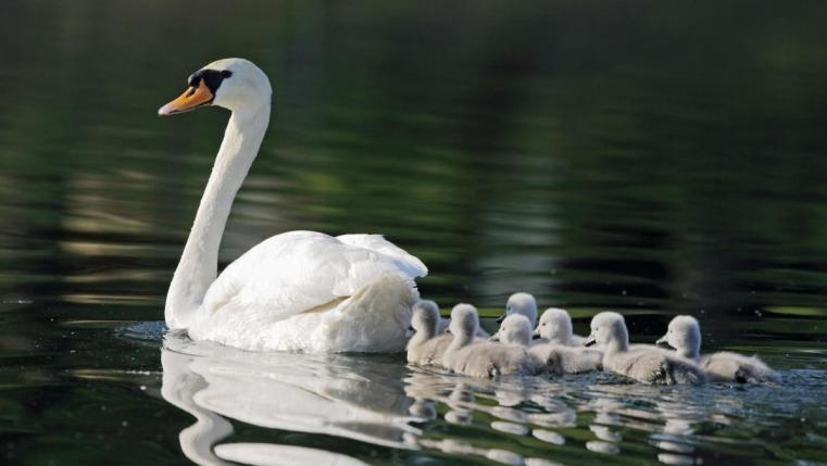 swan-facts