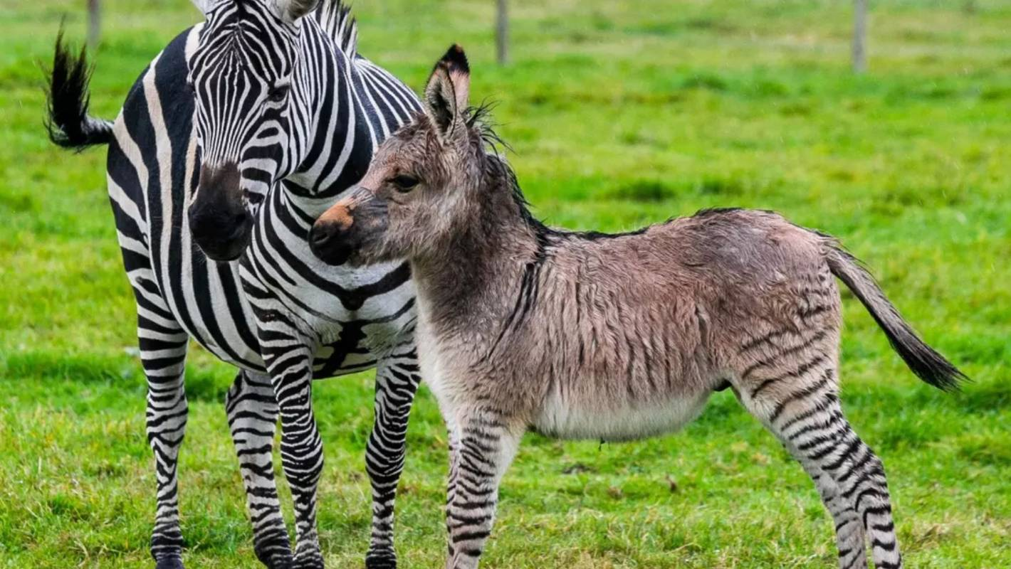 Zonkey Facts Worksheets Evolution Anatomy Amp Appearance