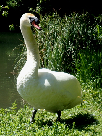 Image of male swan standing on bank of river close up