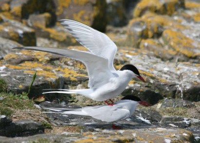 Image of arctic-terns-mating