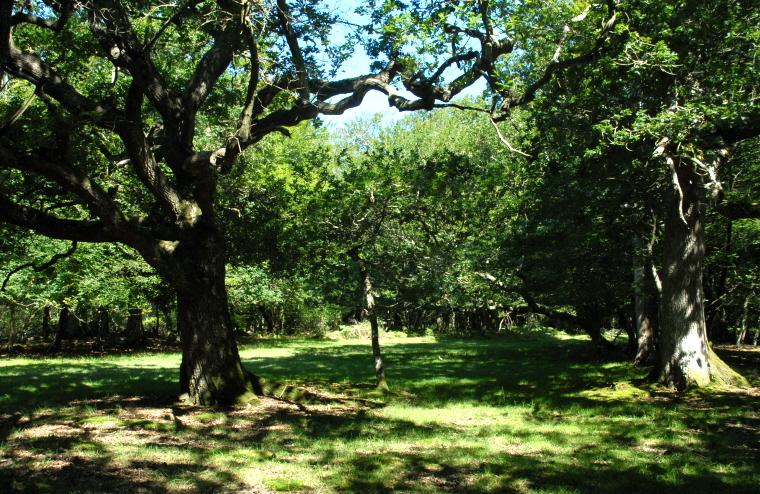 Image of dappled-native-oak-deciduous-woodland-glade-new-forest, England, UK