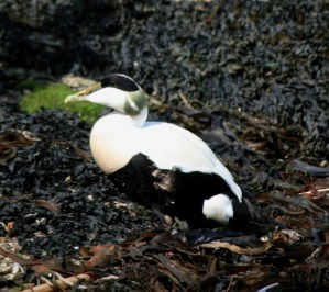 Image of eider-duck-male-waling-on-seaweed-northumberland