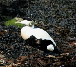 Image of eider-duck-male-waling-on-seaweed-northumberland