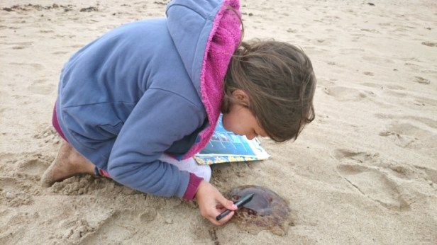 Image of girl-on-beach-investigating-jellyfish