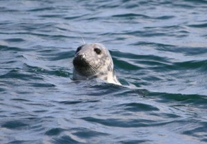 Image of grey-seal-head-above-water