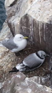 Image of kittiwake-and-chick-on-clifftop-nest