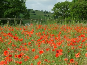 poppies-in-field-with-hills-behind-buckland-cotswolds