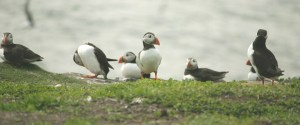 Image of puffins-in-a-row-on-clifftop