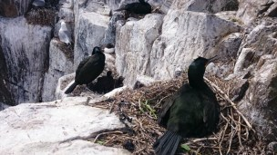 Image of Shags-nesting-on-cliffs