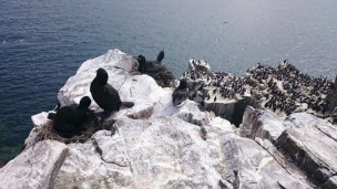 Image of shag-chicks-on-nest-overlooking-precipitous-cliffs-with-other-seabirds