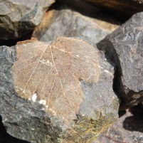 Image of sycamore-skeleton-leaf-on-rocks