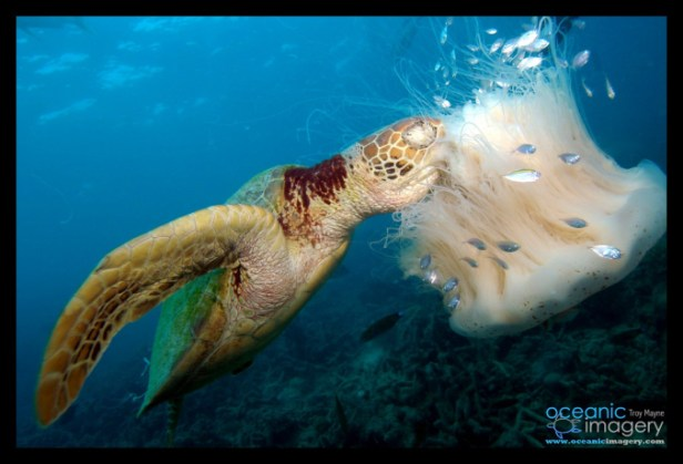 Turtle eating jellyfish