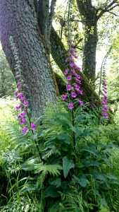Image of pink foxgloves near a tree trunks with woods behind