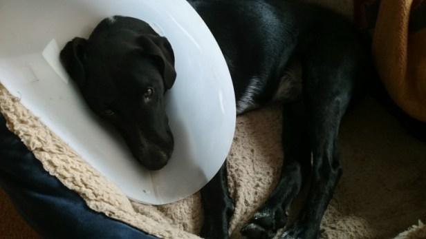 black-dog-in-collar-lying-on-settee