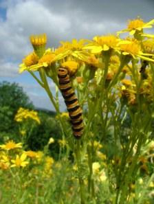 cinabar-caterpillar-on-ragwort-flower-close-up-pembrokeshire