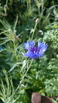 Image of blue cornflower-in-wheelbarrow