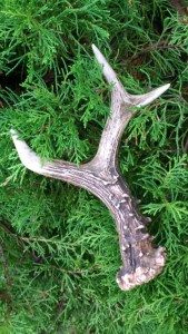 Image of small deer-antler-with-3-prongs