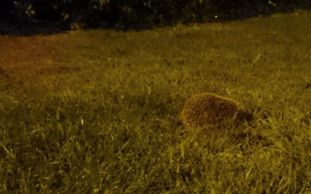 hedgehog-on-grass-at-night