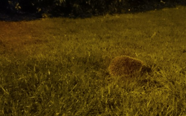 hedgehog-on-grass-at-night