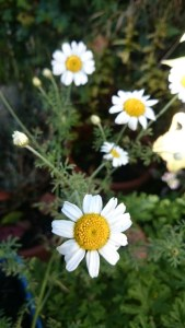 Image of white ox-eye-daisy with yellow centre-in-soil
